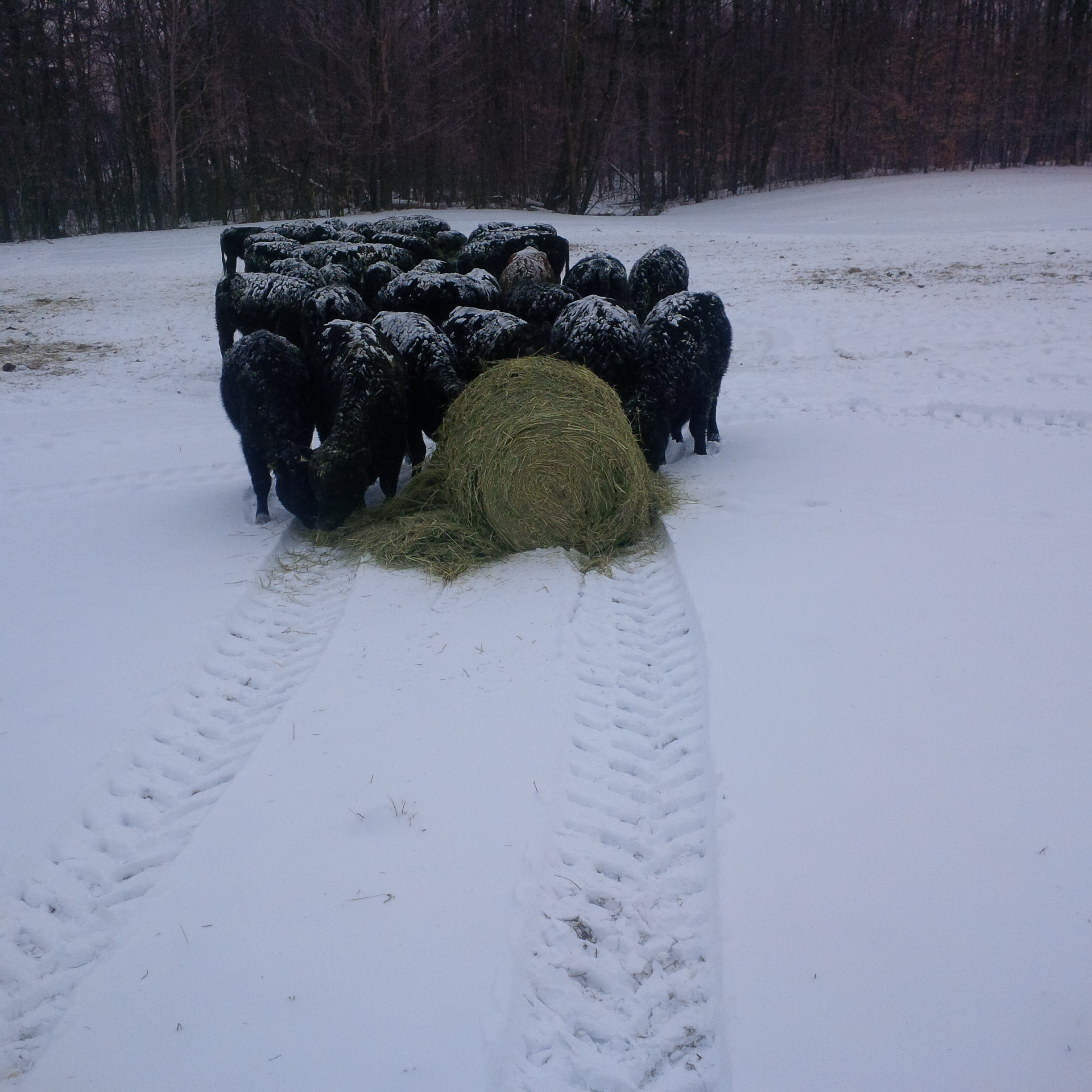 Fresh Bale - Winter grazing