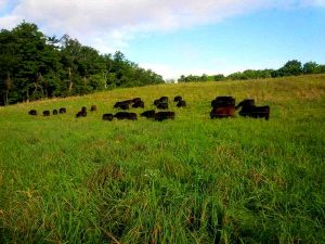 Black Angus Cattle rotational grazing at Brookfront Farms