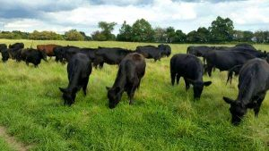 Rotational grazing anus cows at Brookfront Farms