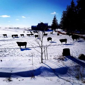 Cows on pasture in the winter at Brookfront Farms